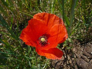 libredroit 320x240 fleurs des champs320px-Blüte_des_Klatschmohns_(Papaver_rhoeas)